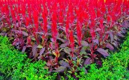 As flores da crista que florescem belamente no lote de plantação foto de stock