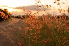 As flores da grama no fundo do por do sol são redcolor imagens de stock