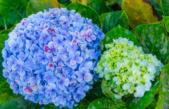 As flores da hortênsia Imagem de Stock Royalty Free
