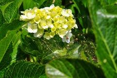 As flores da hortênsia são bonitas imagens de stock