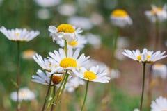 As flores da margarida fecham-se acima em um fundo do campo verde da mola imagens de stock