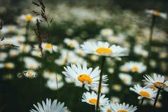 As flores da margarida fecham-se acima em um fundo do campo verde da mola imagem de stock