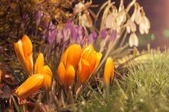As flores da mola na luz solar da noite com lente alargam-se Imagem de Stock Royalty Free