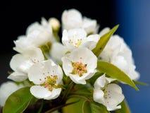 As flores da pera Imagem de Stock