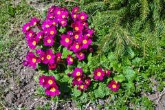 As flores da prímula abriram sob o sol fotografia de stock