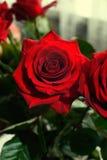 As flores da rosa do vermelho fecham-se acima Imagem de Stock Royalty Free