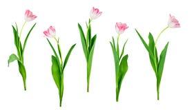 As flores da tulipa ajustaram-se isolado no branco com o trajeto de grampeamento salvar imagem de stock royalty free