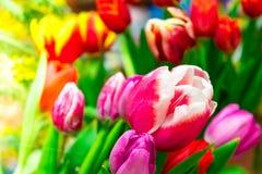 As flores da tulipa são close-up fotografado Flor da mola fotos de stock