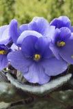 As flores da violeta Imagens de Stock Royalty Free