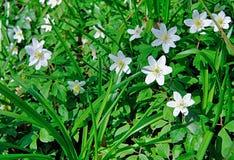 As flores de Anemone In Deciduous Woodland de madeira imagem de stock