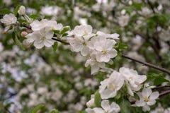 As flores de Apple são olá! da mola! fotografia de stock royalty free