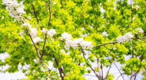 As flores de Apple s?o ol?! da mola! imagens de stock royalty free