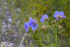 As flores de Baikal Imagens de Stock Royalty Free