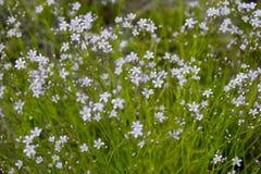 As flores de Baikal fotos de stock royalty free