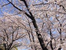 As flores de cerejeira agradáveis na flor completa Imagem de Stock