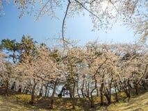 As flores de cerejeira bonitas em Hirosaki estacionam, Aomori, Tohoku, Japão na mola Fotografia de Stock