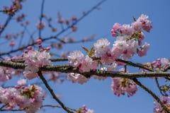 As flores de cerejeira bonitas em Hirosaki estacionam, Aomori, Tohoku, Japão na mola Foto de Stock