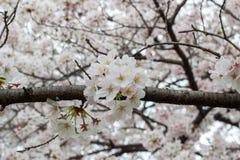as flores de cerejeira Completo-florescidas em Kumagaya Arakawa Ryokuchi estacionam em Kumagaya, Saitama, Japão Fotografia de Stock Royalty Free