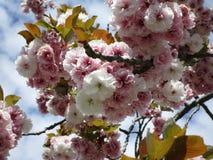 As flores de cerejeira em Jericho encalham, Columbia Britânica, Canadá, 2018 imagem de stock
