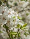 As flores de cerejeira fecham-se acima Imagem de Stock Royalty Free
