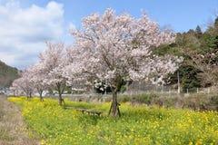 As flores de cerejeira no banco de rio imagens de stock