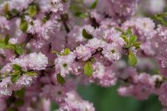 As flores de cerejeira de Sakura focalizam para ramificar contra o céu azul e nublam-se o fundo fotografia de stock