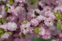 As flores de cerejeira de Sakura focalizam para ramificar contra o céu azul e nublam-se o fundo imagem de stock royalty free