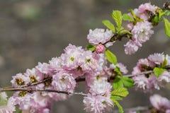 As flores de cerejeira de Sakura focalizam para ramificar contra o céu azul e nublam-se o fundo foto de stock royalty free