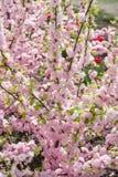 As flores de cerejeira de Sakura focalizam para ramificar contra o céu azul e nublam-se o fundo imagem de stock