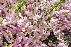 As flores de cerejeira de Sakura focalizam para ramificar contra o céu azul e nublam-se o fundo fotografia de stock royalty free