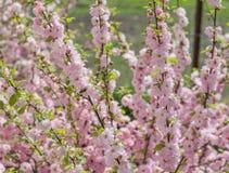 As flores de cerejeira de Sakura focalizam para ramificar contra o céu azul e nublam-se o fundo imagens de stock royalty free