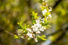 As flores de cerejeira sobre a mola borrada do fundo da natureza florescem o fundo da mola com ramo de árvore do bokeh com cereja Imagens de Stock Royalty Free