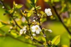 As flores de cerejeira sobre a mola borrada do fundo da natureza florescem o fundo da mola com ramo de árvore do bokeh com cereja foto de stock