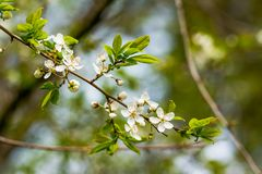 As flores de cerejeira sobre a mola borrada do fundo da natureza florescem o fundo da mola com ramo de árvore do bokeh com cereja Fotos de Stock Royalty Free