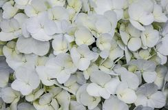 As flores de florescência das hortênsias fecham-se acima foto de stock royalty free