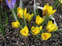 As flores de florescência no tempo de mola com uma neve Imagens de Stock Royalty Free