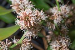 As flores de fragrans do Dracaena são flor Imagem de Stock