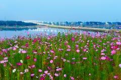 As flores de Gesang Fotografia de Stock