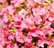 As flores de Kalanchoe fecham-se acima Imagem de Stock Royalty Free