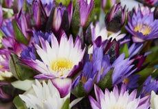 As flores de lótus bonitas na lagoa do jardim para o fundo ou no papel de parede, raizes dos lótus são plantadas no solo da lagoa imagem de stock