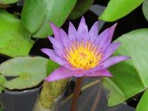 As flores de lótus roxas que florescem acima da água e do verde saem de i fotos de stock