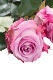 As flores de Rosa fecham-se acima Foto de Stock
