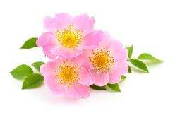 As flores de selvagem aumentaram Imagens de Stock
