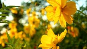 As flores de Sulphureus do cosmos colocam próximo acima com alargamentos do sol filme