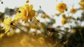 As flores de Sulphureus do cosmos colocam pr?ximo acima com alargamentos do sol video estoque