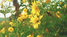 As flores de Sulphureus do cosmos colocam pr?ximo acima com alargamentos do sol filme