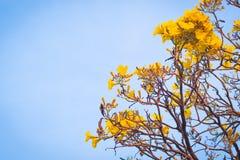 As flores de Yelloyellow florescem em flores do sumw da mola florescem na ideia holday do conceito da estação vívida do fundo de  fotos de stock