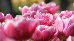 As flores deliciosas bonitas pitorescas do rosa e as brancas da peônia das tulipas florescem no jardim da mola Flor decorativa da filme