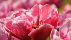 As flores deliciosas bonitas pitorescas do rosa e as brancas da pe?nia das tulipas florescem no jardim da mola Flor decorativa da filme