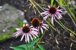 As flores desvanecidas bonitas do cone florescem na luz do dia Imagens de Stock
